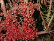 Acrotriche fasciculiflora