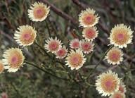 Actinodium cunninghamii