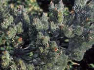 Adenanthos sericea
