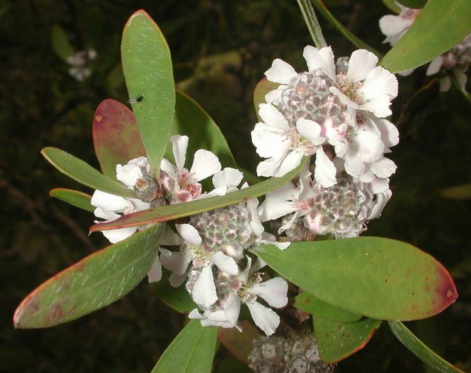 Agonis obtusissima