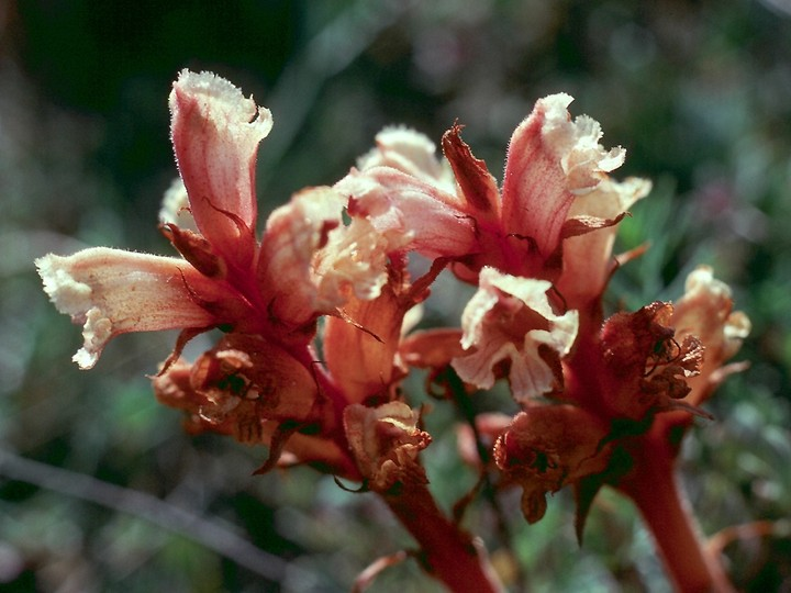 Orobanche alba