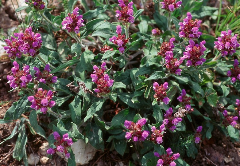 Prunella grandiflora