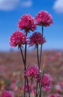 Allium schoenoprasum