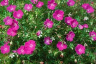 Geranium sanguineum