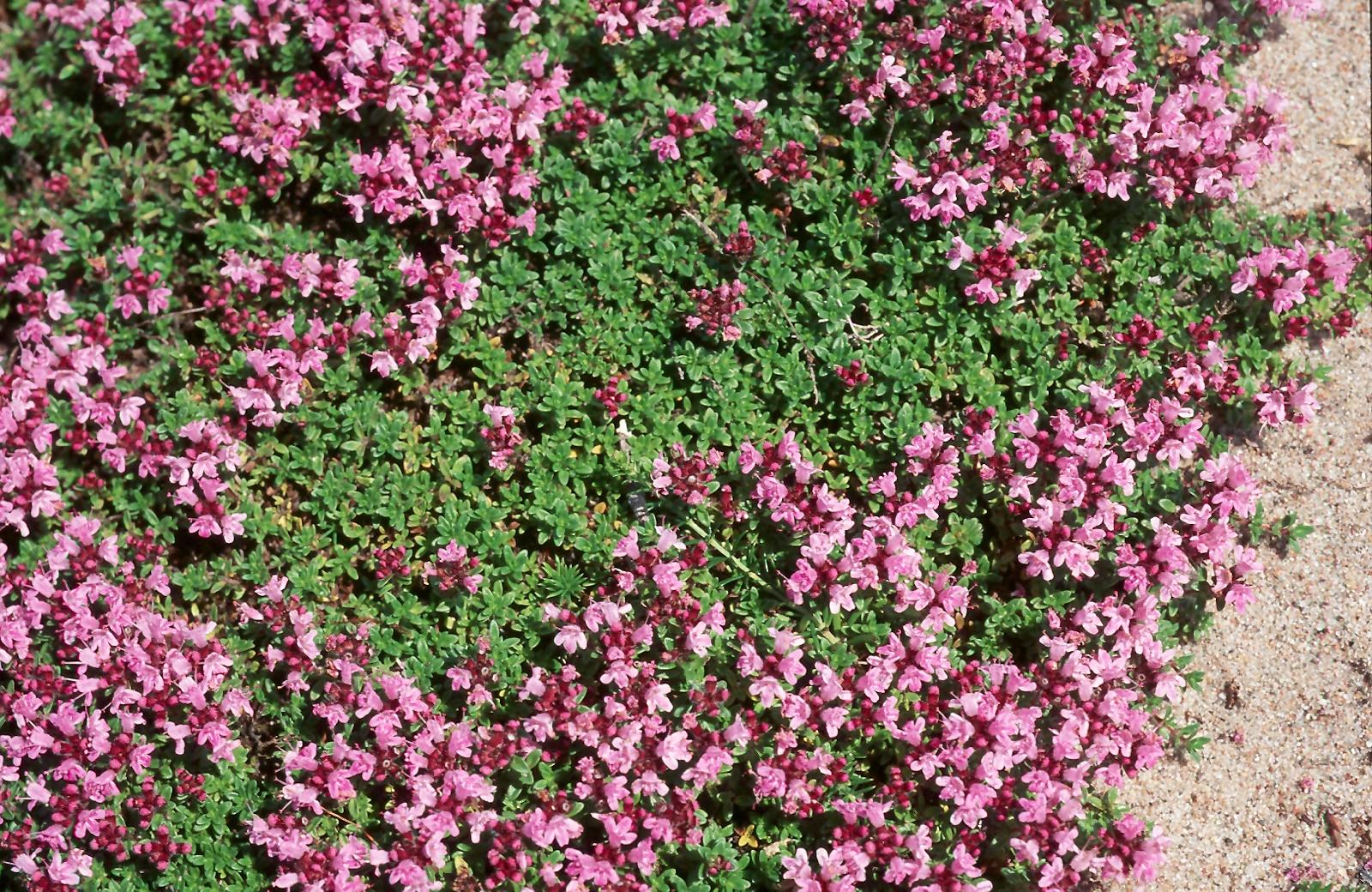 Thymus serpyllum
