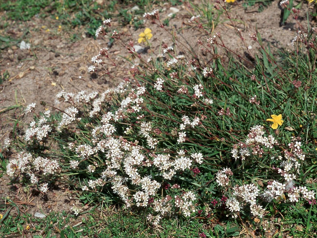 Gypsophila fastigiata