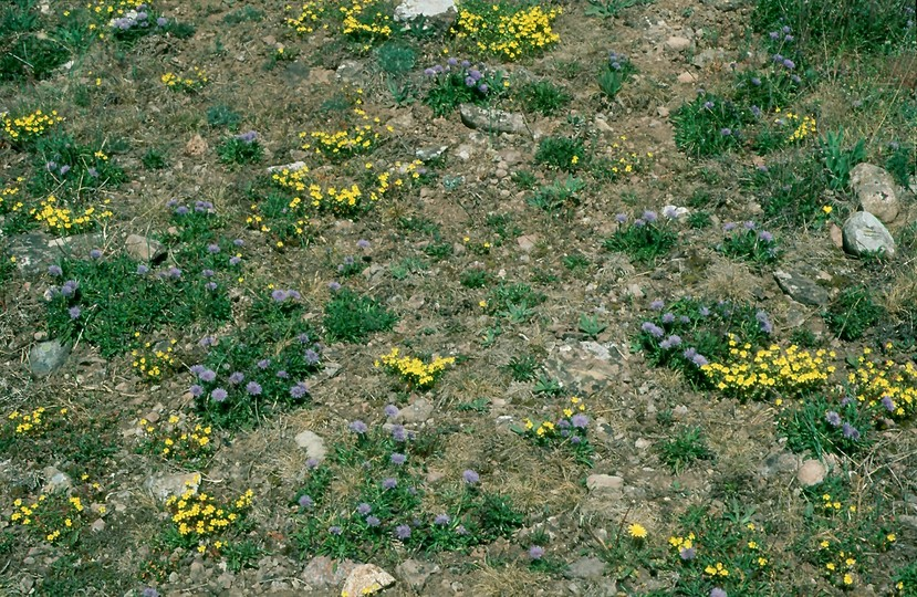 Globularia vulgaris