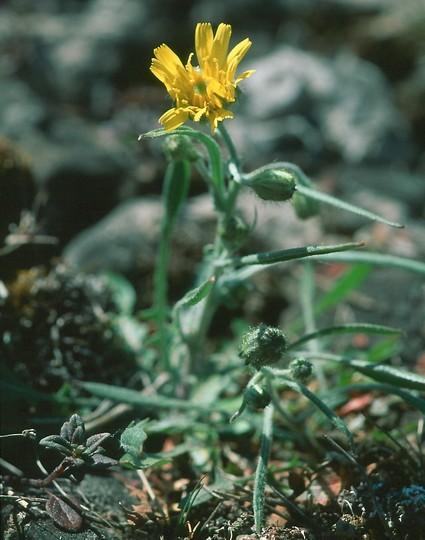 Crepis tectorum ssp. pumila