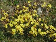 Helianthemum oelandicum