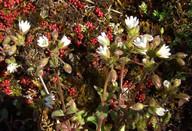 Cerastium pumilum ssp. pumilum