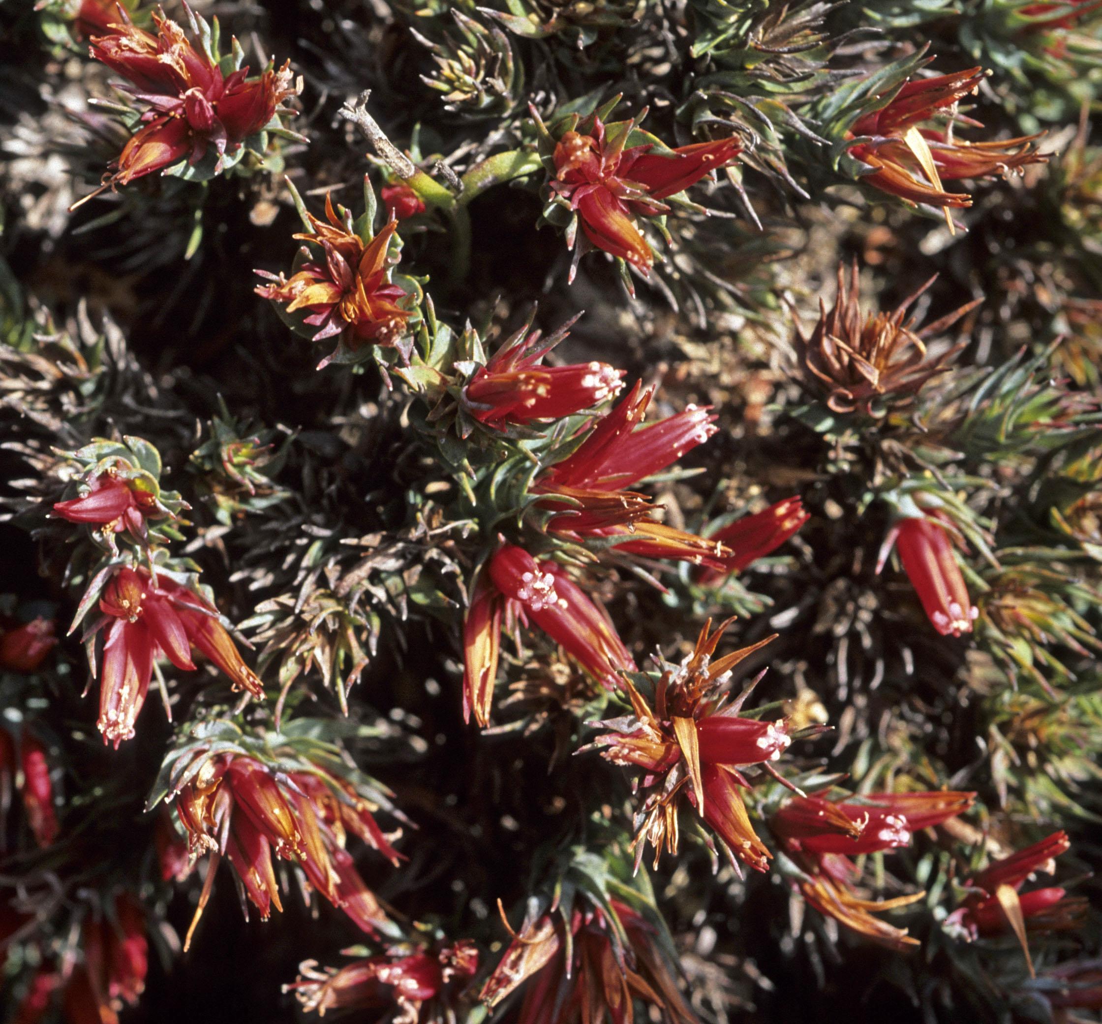 Andersonia grandiflora