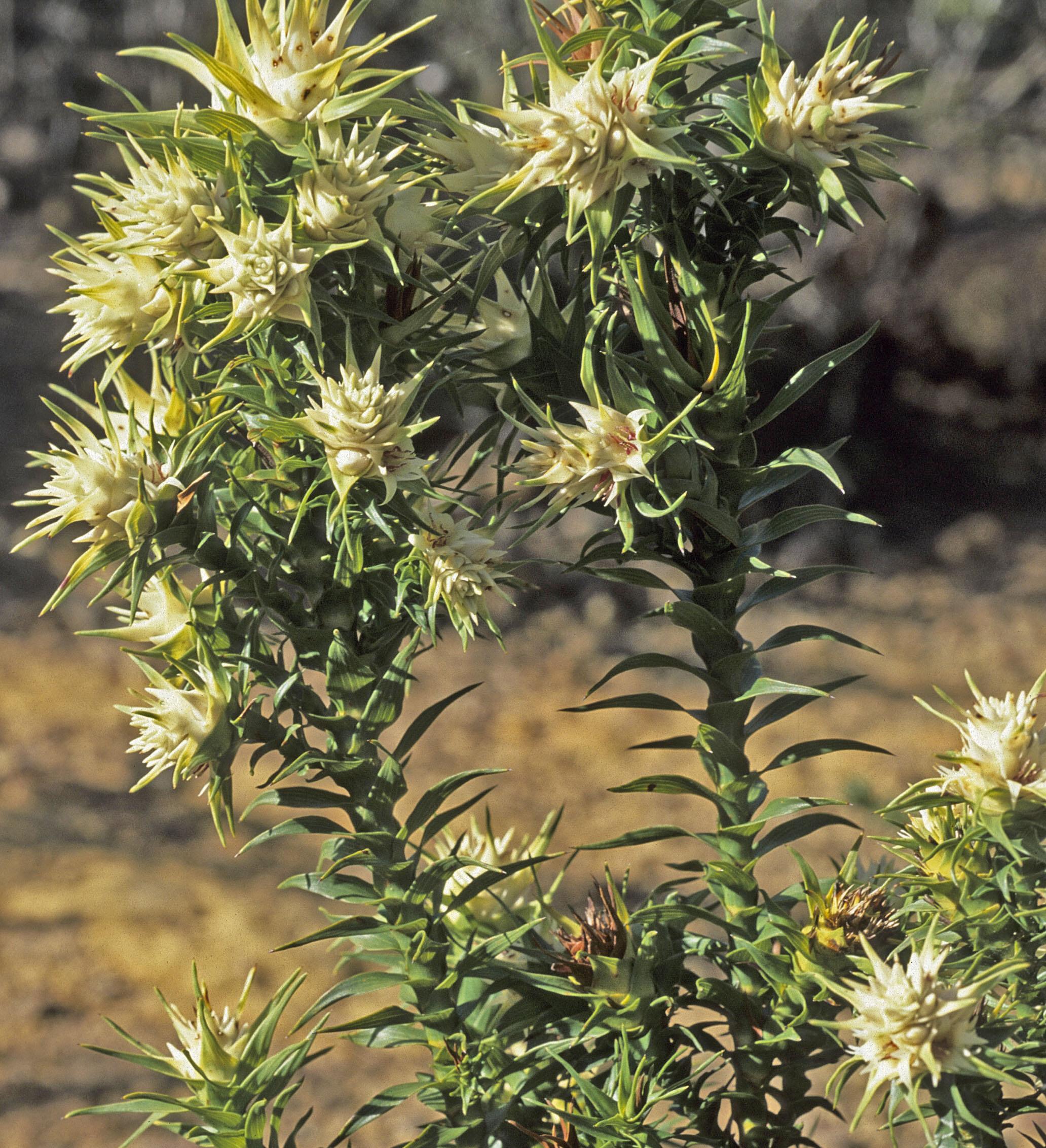 Andersonia echinocephala