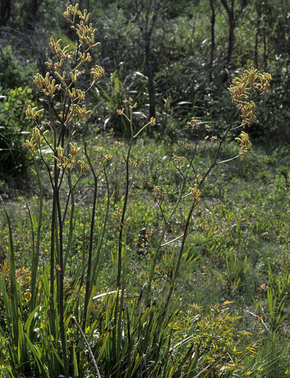 Anigozanthos viridis