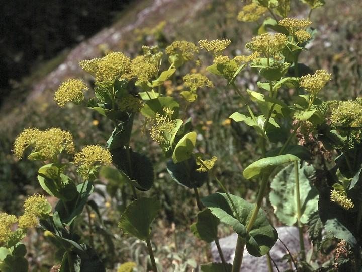 Smyrnium rotundifolium
