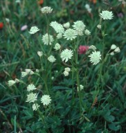 Astrantia bavarica