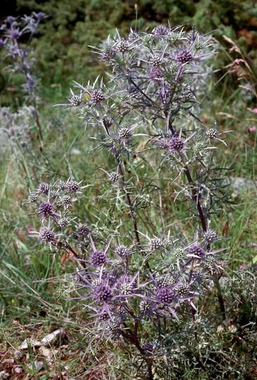 Eryngium amethystinum