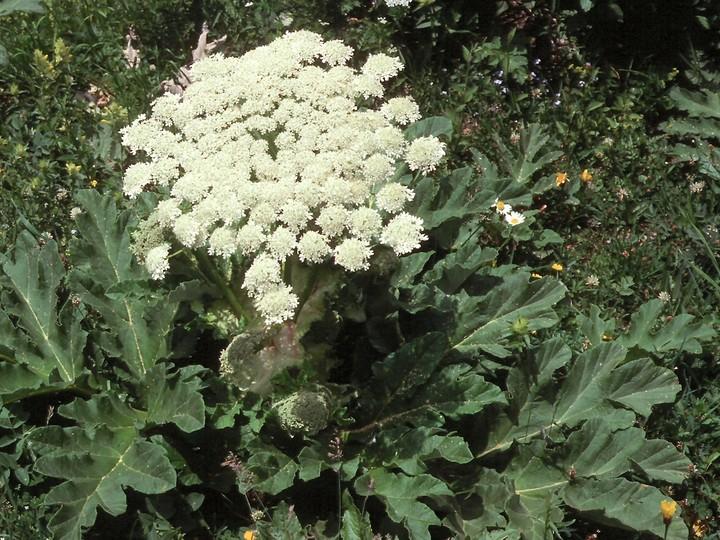 Heracleum sp.