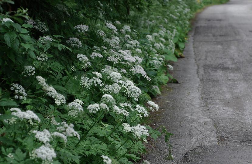 Chaerophyllum temulentum