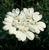 Orlaya grandiflora
