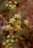 Bupleurum baldense ssp. veronese