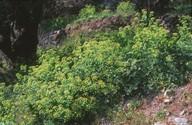 Smyrnium apiifolium