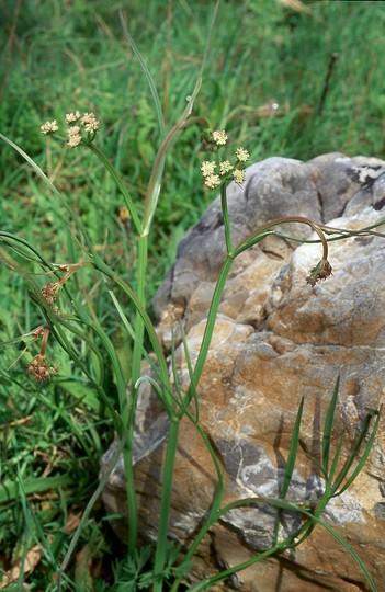 Oenanthe pimpineloides