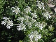 Orlaya daucoides