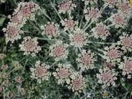 Zosima absinthiifolia