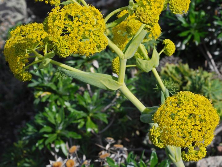 Ferula lancerottensis
