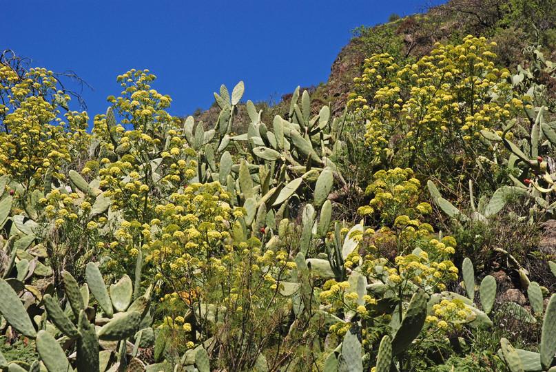 Todaroa montana