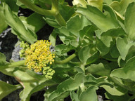 Astydamia latifolia