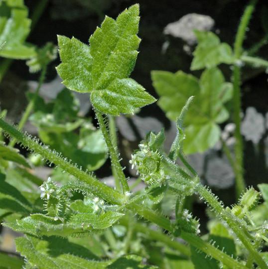 Drusa glandulosa