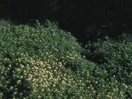 Rorippa nasturtium-aquaticum x microphylla