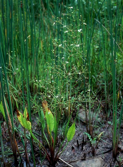 Alisma plantago-aquatica