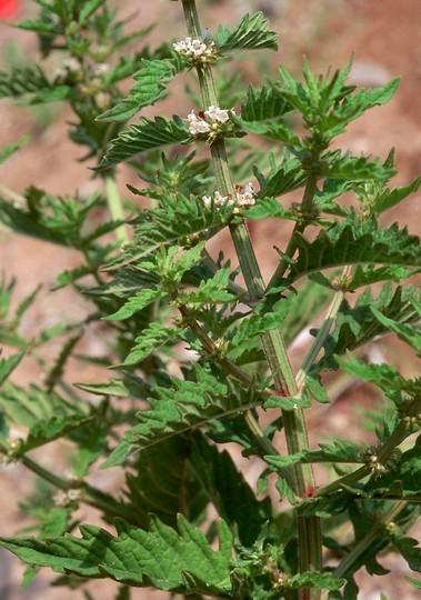 Lycopus europaeus