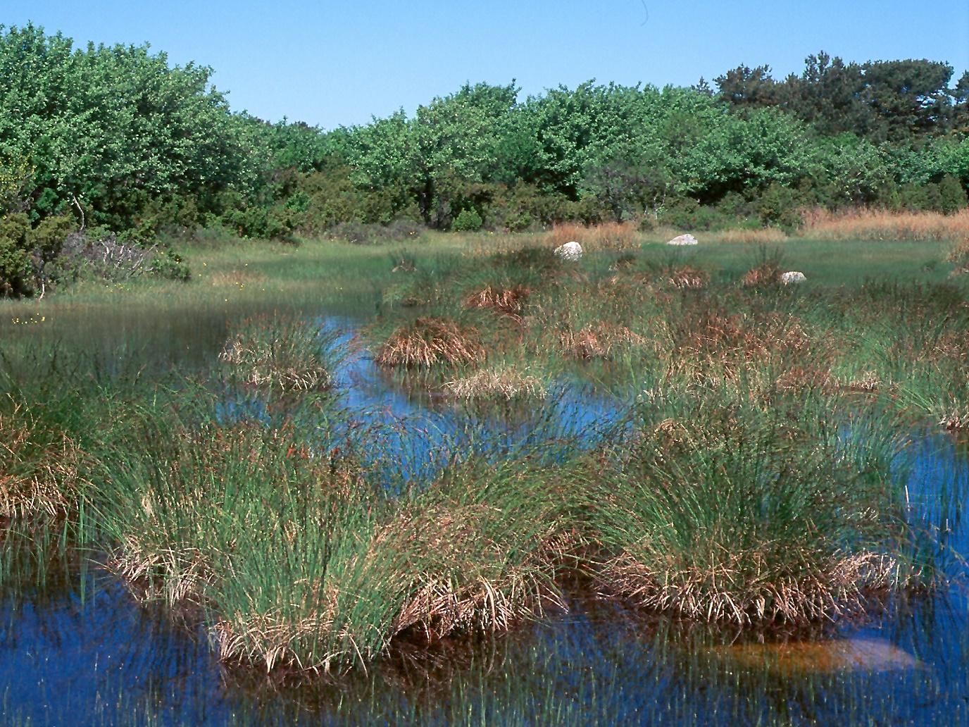 Carex elata