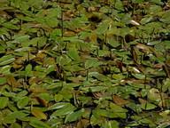 Potamogeton natans