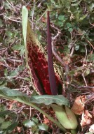 Arum dioscoridis