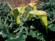 Arum creticum