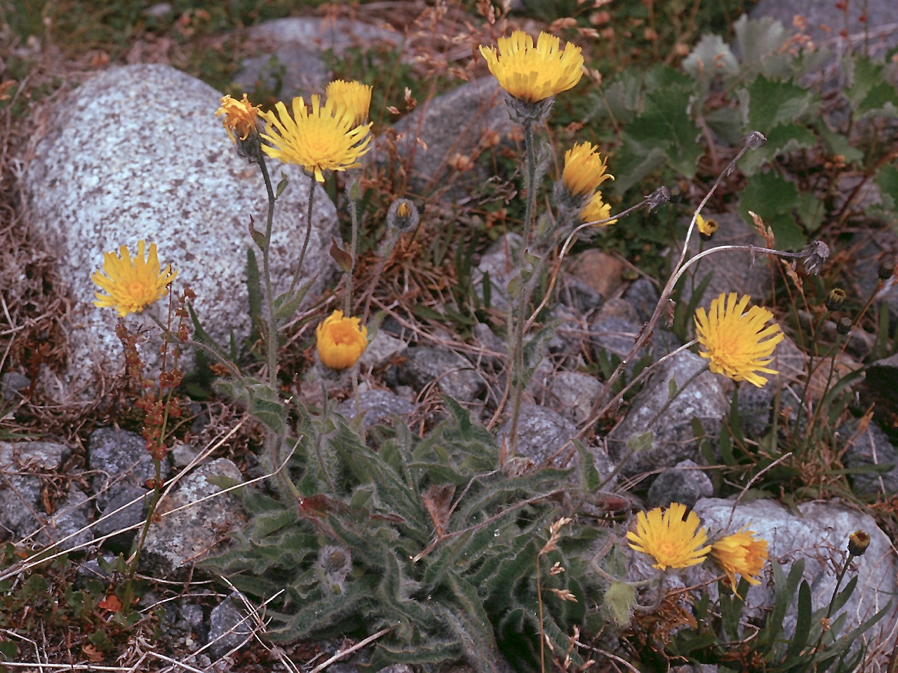 Hieracium villosum