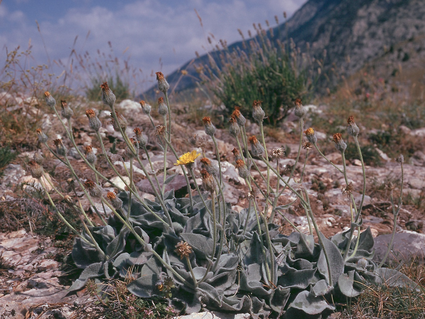 Hieracium lanatum