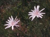 Scorzonera rosea