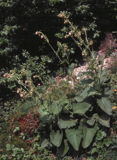 Cirsium carniolicum