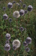 Echinops sphaerocephalus