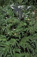 Rhaponticum cynaroides