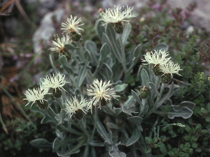 Centaurea pindicola