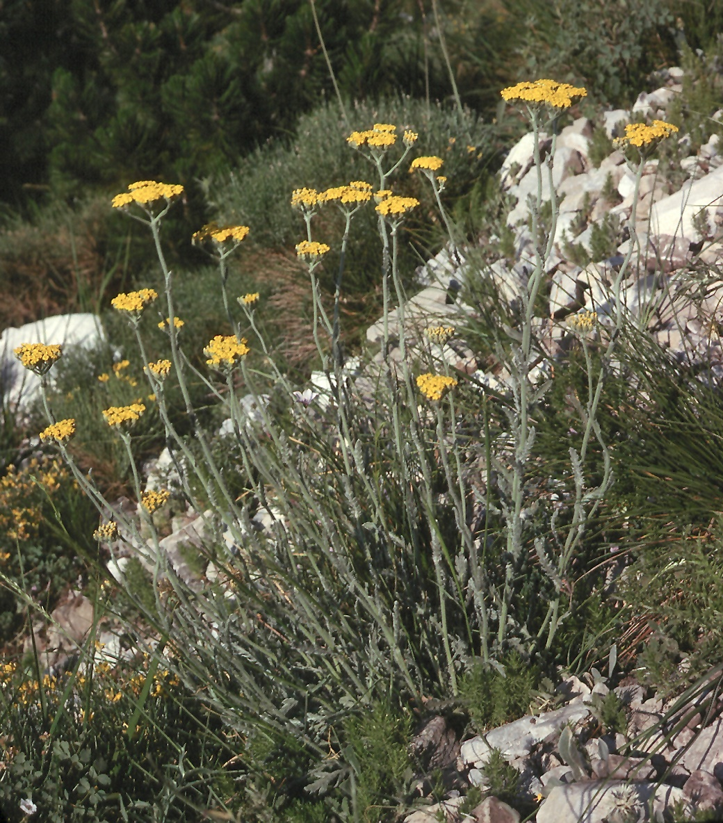 Achillea holosericea