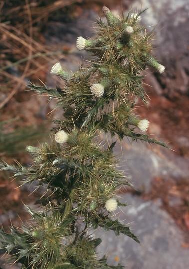 Cirsium candelabrum