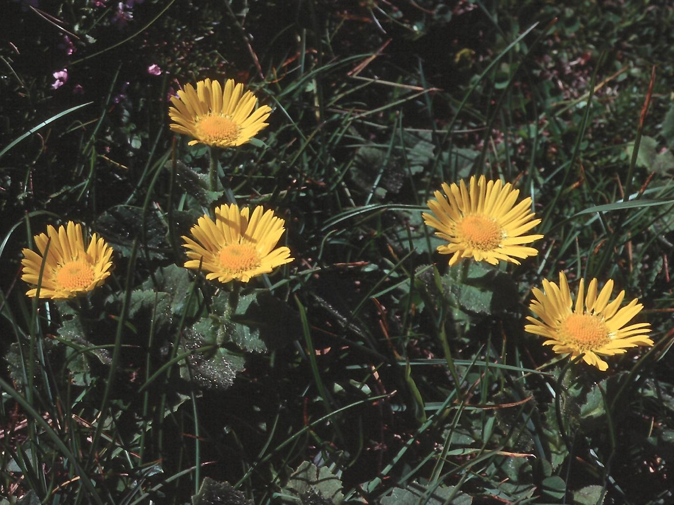Doronicum carpaticum