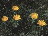 Doronicum carpaticum